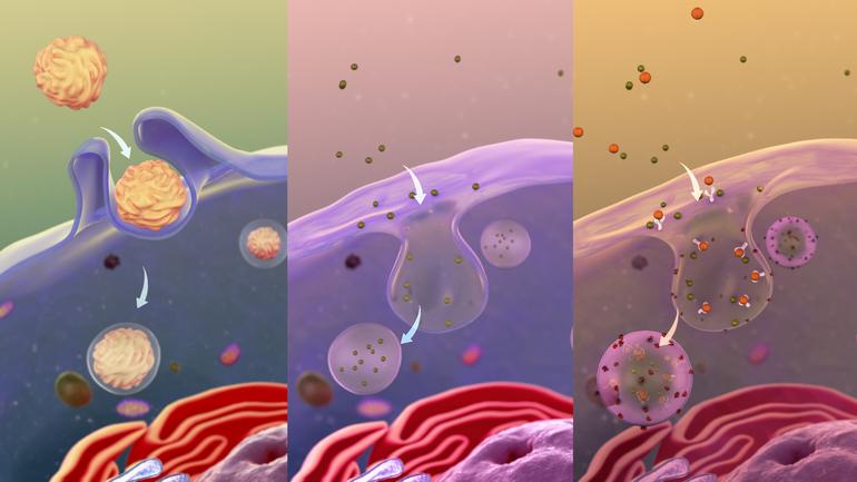 Структура и функции нейтрофилов