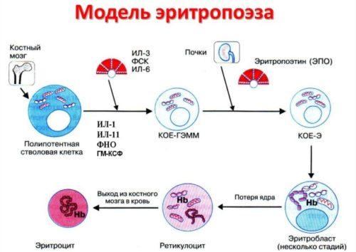 eritropoez