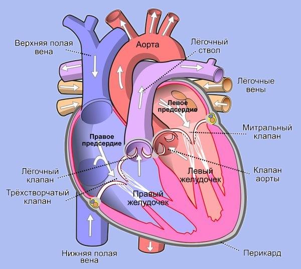 Правое предсердие сердца