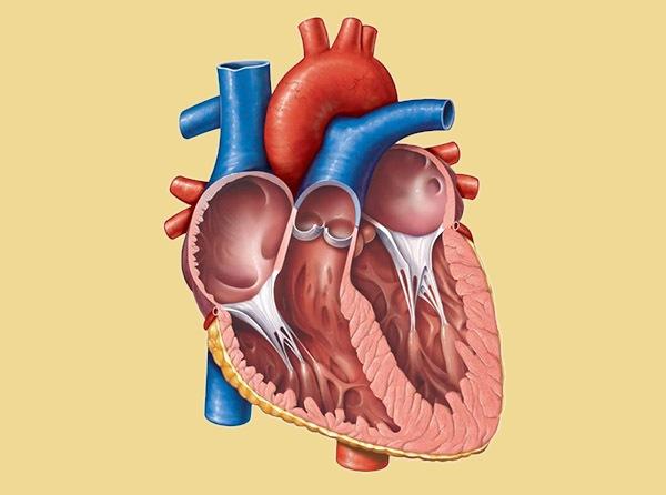 Сколько камер в сердце человека